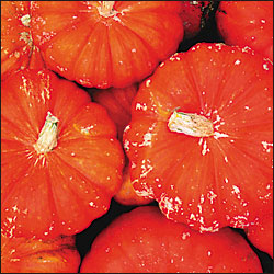 Heirloom Squash 'Rouge Vif d'Etampes' Pumpkin