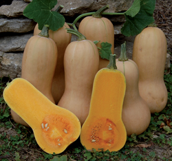 Heirloom Squash 'Waltham Butternut' Winter Squash
