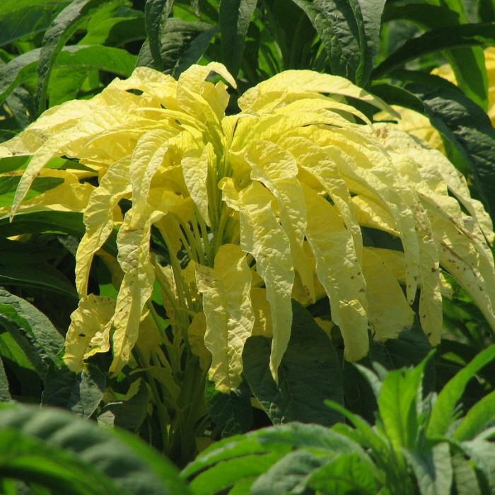 Amaranthus cruentus 'Aurora'