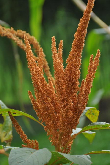 Amaranthus cruentus Hot Biscuit