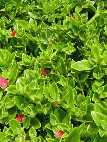 APTENIA cordifolia 'Crystal Variegata' (baby sun rose)