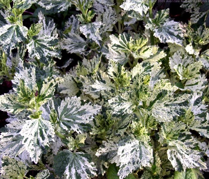 Ballota nigra 'Variegata' (horehound)