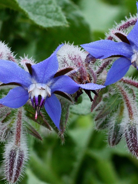 Borago officinalis Borage Blue