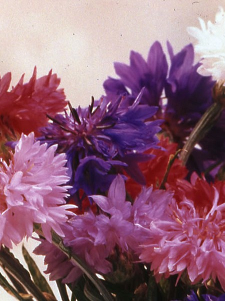 Centaurea cyanus Midget Mix
