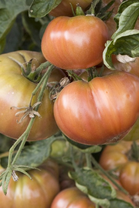 Heirloom Tomato 'Cherokee Purple'