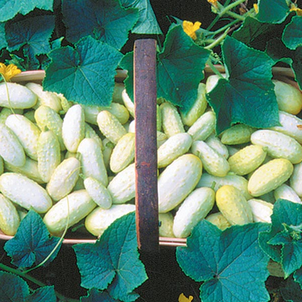 Cucumber 'Miniature White' Pickling
