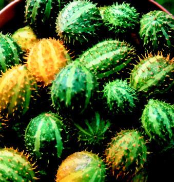 Cucumis myriocarpus Gooseberry Gourd