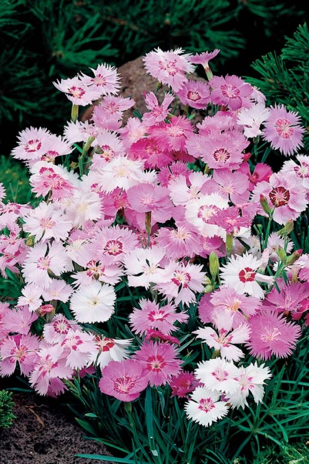Dianthus plumarius Sweetness cottage pink