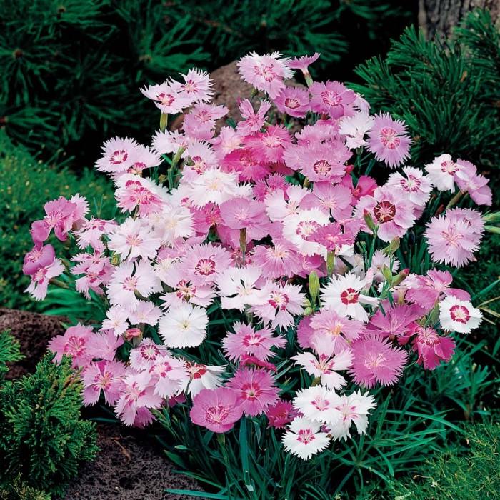 Dianthus plumarius 'Sweetness' cottage pink