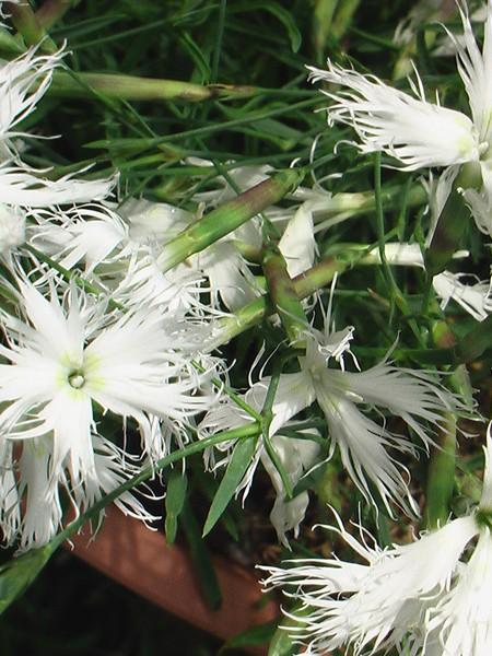 Dianthus arenarius of. venus 'Little Maiden'