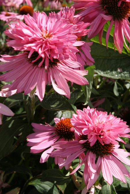 Echinacea purpurea 'Doppelganger' ® (coneflower)