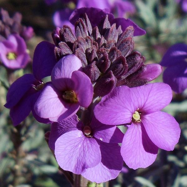 Erysimum linifolium 'Bowles Mauve' (wallflower)