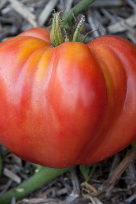 Heirloom Tomato 'Giant Oxheart'
