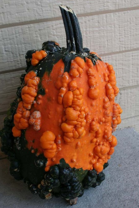 Decorative Gourd 'Lunch Lady' Large Gourd