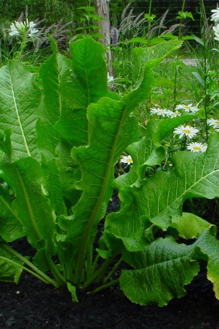 Horseradish (Armoracia rusticana)