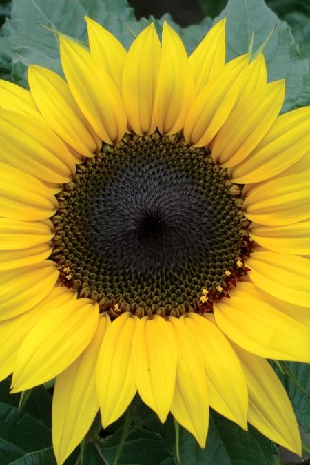 Helianthus annuus 'Choco Sun'