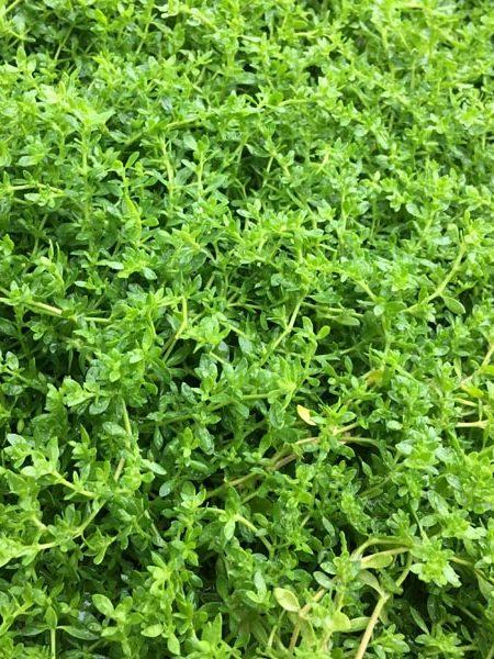 HERNIARIA glabra (rupturewort)