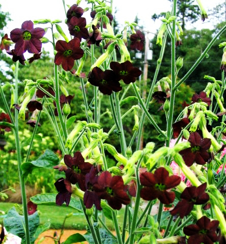 Nicotiana alata 'Hot Chocolate'