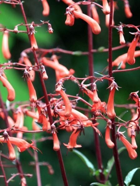 Phygelius recta 'Passionate' (Cape fuchsia)