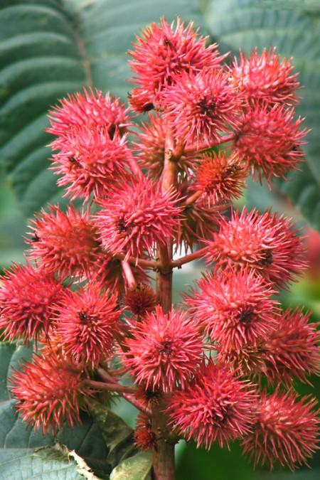 Ricinus communis gibsonii 'Castor Bean Dark Red'
