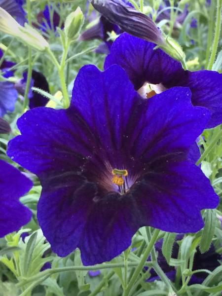 Salpiglossis sinuata 'Kew Blue'