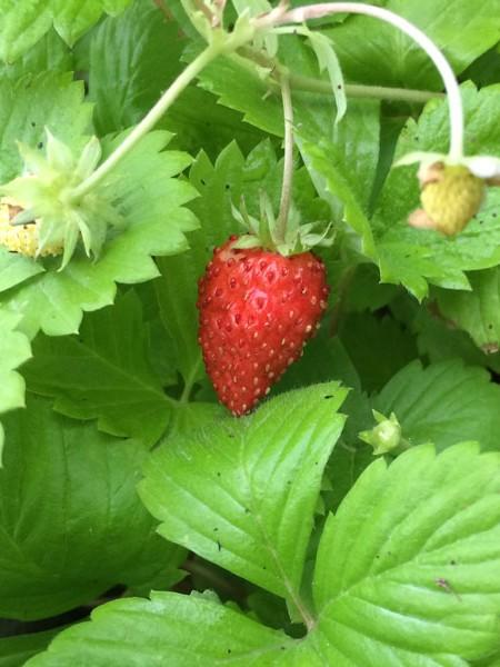 Strawberry Fragaria vesca var. semperflorens Golden Alexandria (Alpine)
