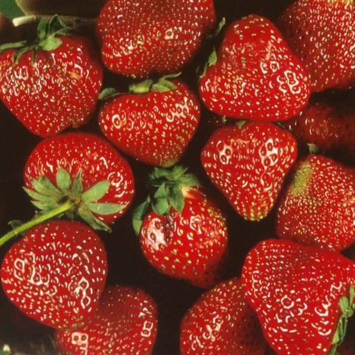 Strawberry Honeoye June Bearing