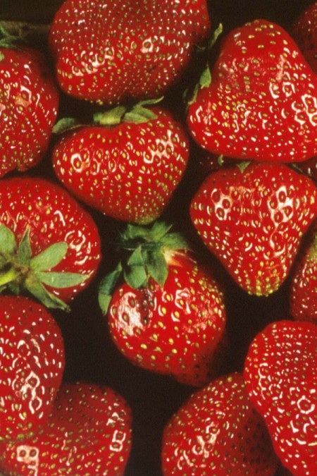 Strawberry 'Totem' June Bearing