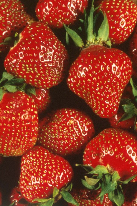 Strawberry &#039;Quinault&#039; Everbearing