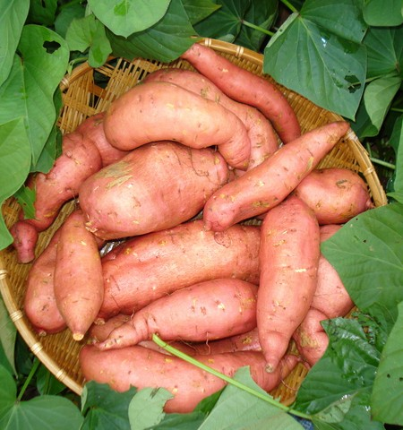 Sweet Potato 'Georgia Jet'