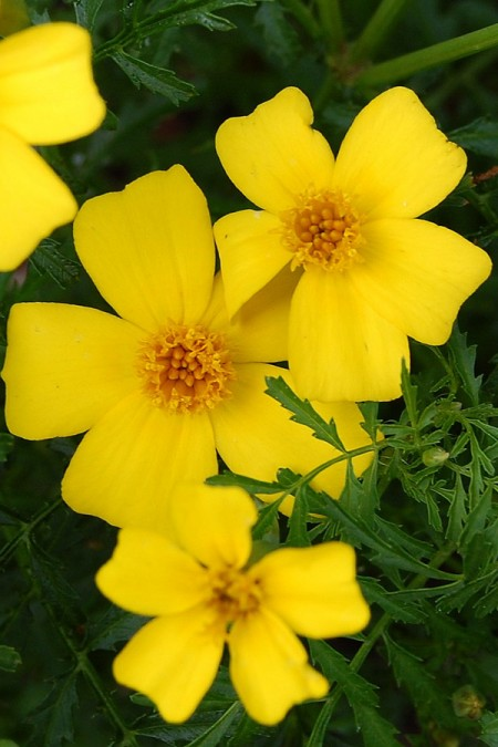 Tagetes signata Lemon Gem Marigold