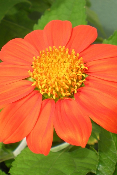 Tithonia rotundifolia Torch