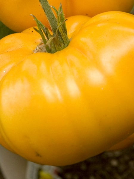 Heirloom Tomato 'Brandywine Yellow'