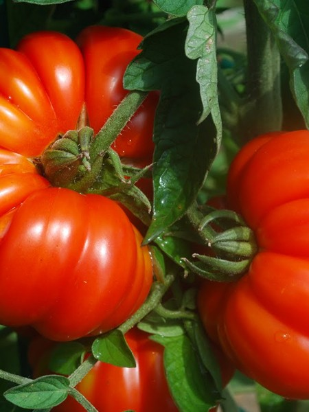 Heirloom Tomato 'Costoluto Genovese'
