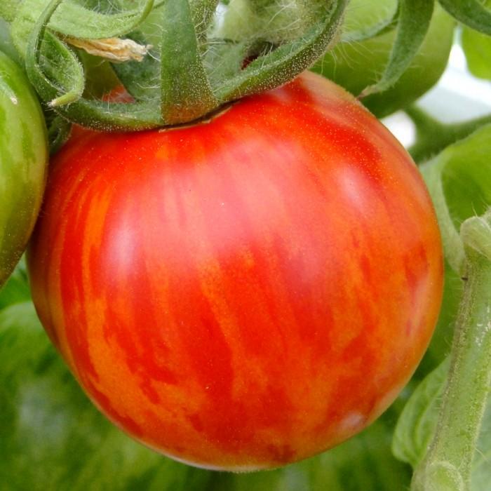 Heirloom Tomato 'Red Zebra'
