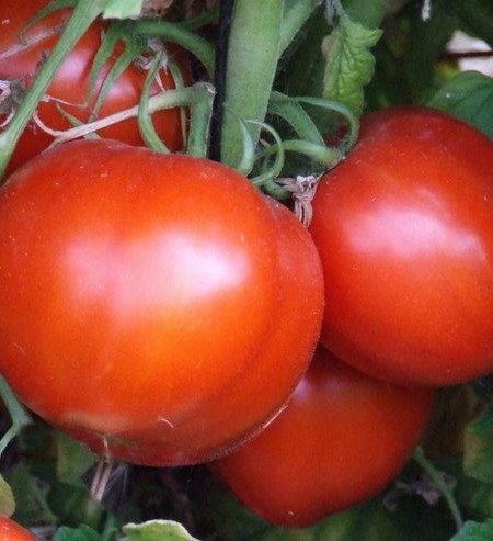Heirloom Tomato 'San Francisco Fog'