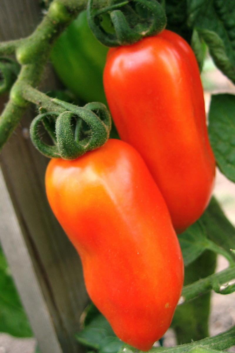 san marzano tomato plants for sale
