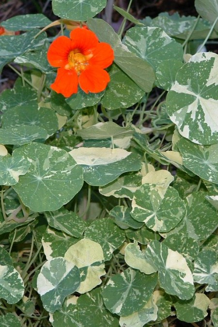 Tropaeolum majus Alaska Variegated Scarlet