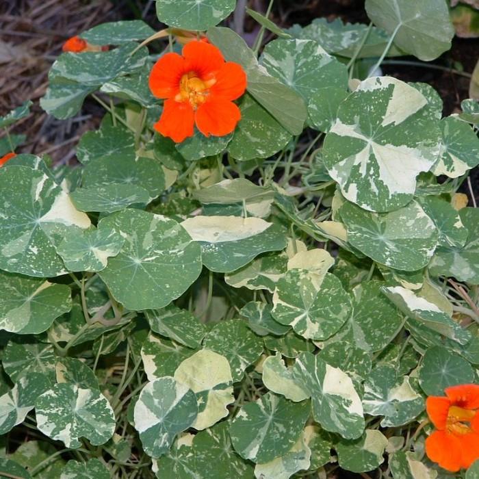 Tropaeolum majus 'Alaska Variegated Scarlet'