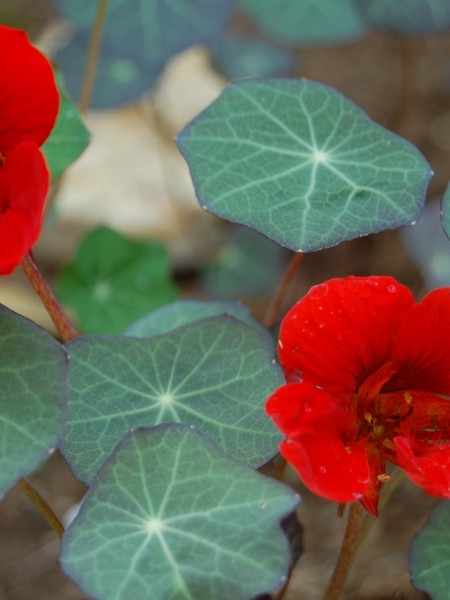 Tropaeolum majus Empress of India