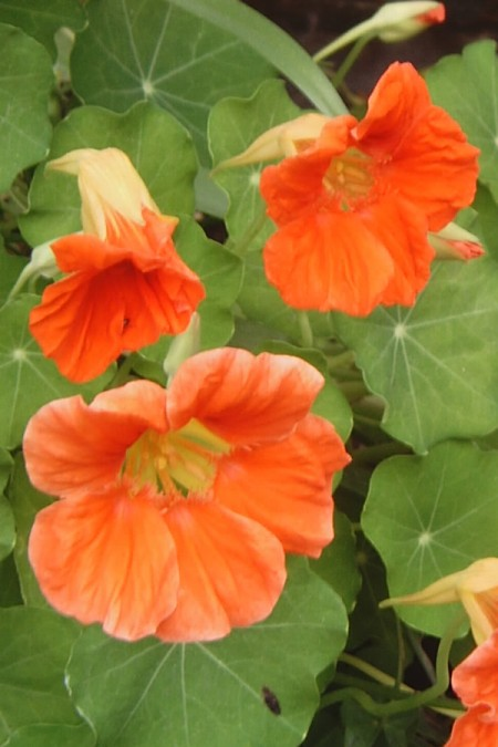 Tropaeolum majus Jewel Peach Melba