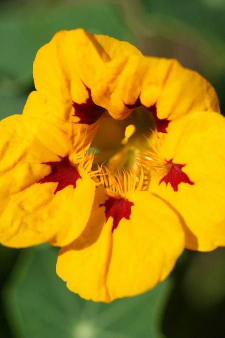 Tropaeolum majus 'Lady Bird Orange Red Spot'