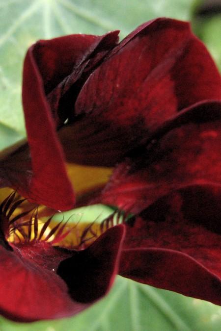 Tropaeolum majus 'Tom Thumb Black Velvet'