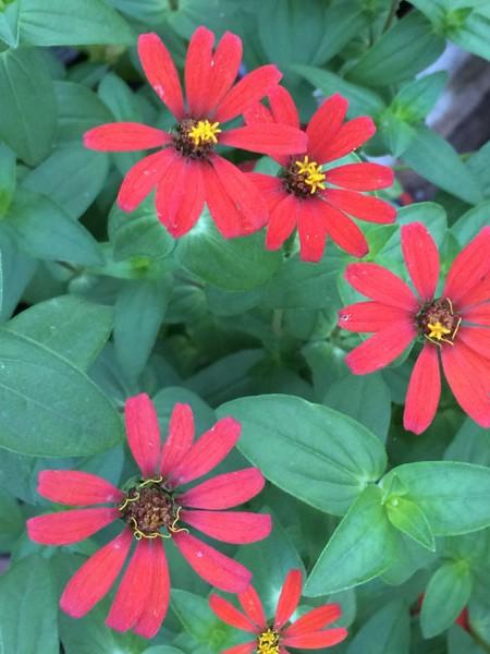Zinnia tenuiflora 'Red Spider'