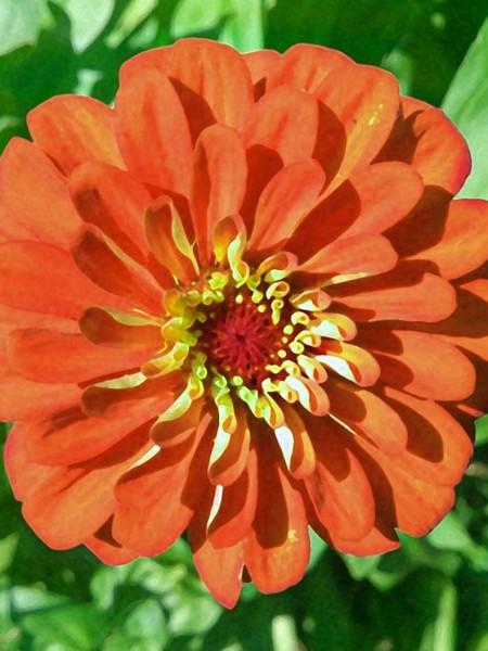 Zinnia elegans 'Yoga Orange'
