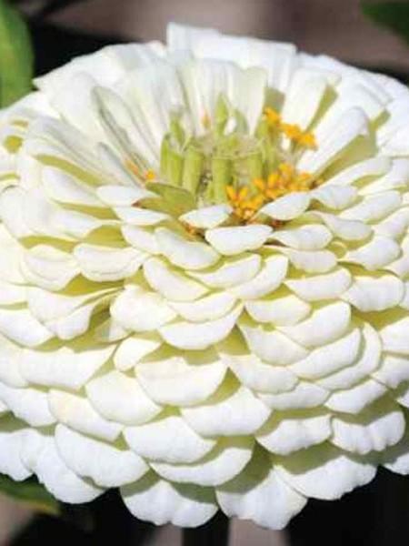 Zinnia elegans 'Yoga White'