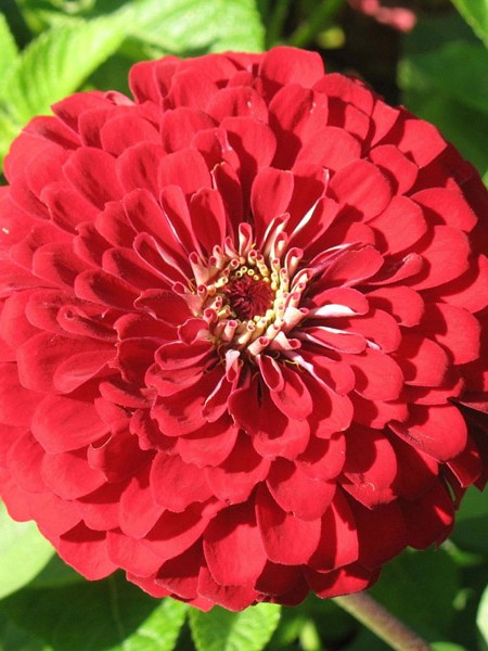 Zinnia elegans 'Benary Deep Red'