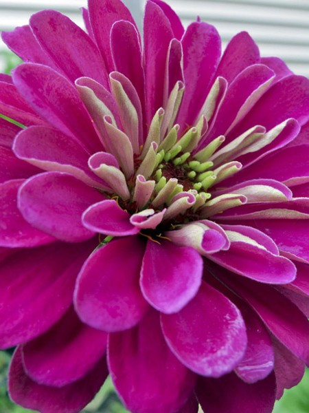 Zinnia elegans 'Benary Purple'