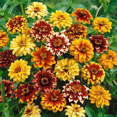 Zinnia haageana 'Persian Carpet'