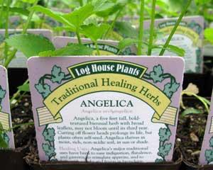 Angelica (Angelica archangelica)